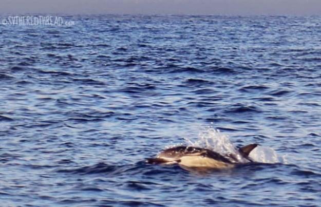 Monterey_Dolphin