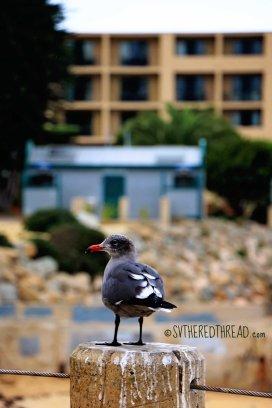 Monterey_Gull