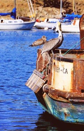 Monterey_Pelican poop