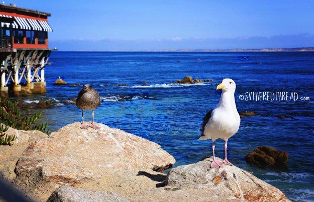 Monterey_Sea gulls