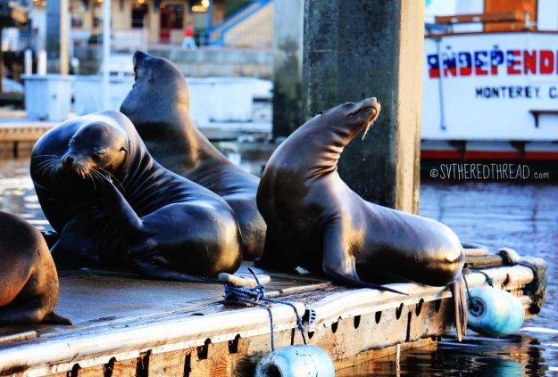 Monterey_Sea lions
