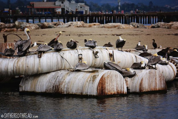 #SB_Pelican poop