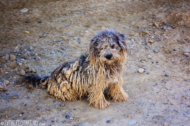 #Bahia de Tortugas_Dredlock doggie