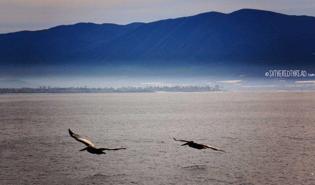#Passage_Pelicans soaring