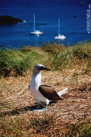 #Isla Isabela_Blue footed boobie2