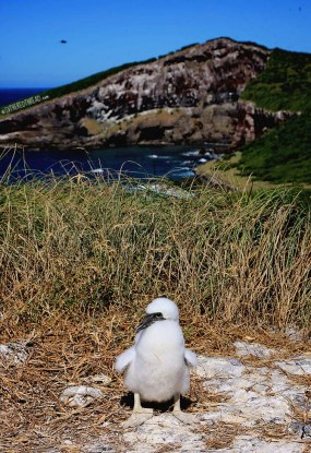 #Isla Isabela_Brown footed boobie baby1
