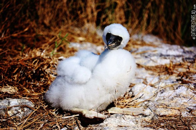#Isla Isabela_Brown footed boobie baby3