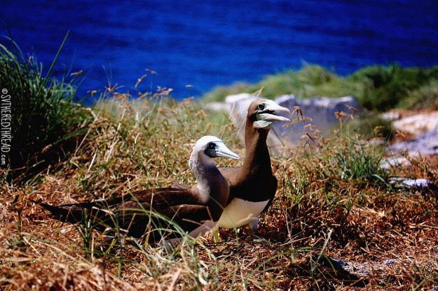 #Isla Isabela_Brown footed boobie couple