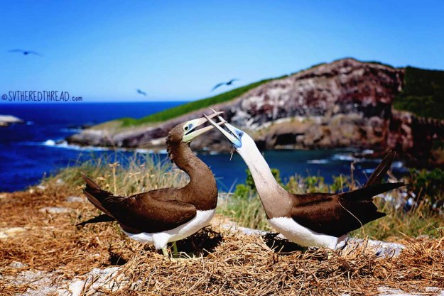 #Isla Isabela_Brown footed boobie duo2