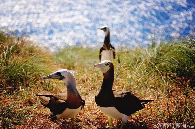 #Isla Isabela_Brown footed boobie trio