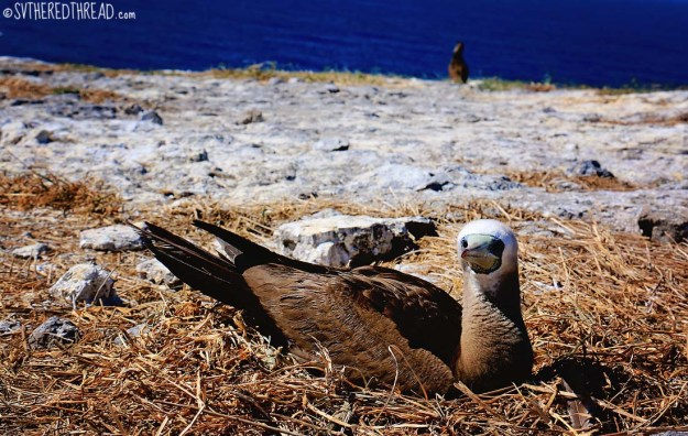 #Isla Isabela_Brown footed boobie1