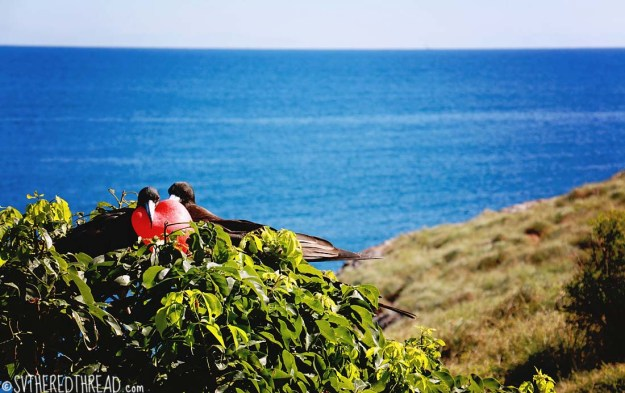 #Isla Isabela_Frigate love