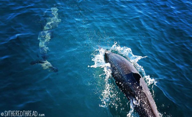 #Passage to Mazatlan_Dolphins dancing