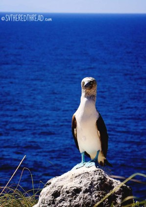 #Isla Isabela_Blue footed booby3