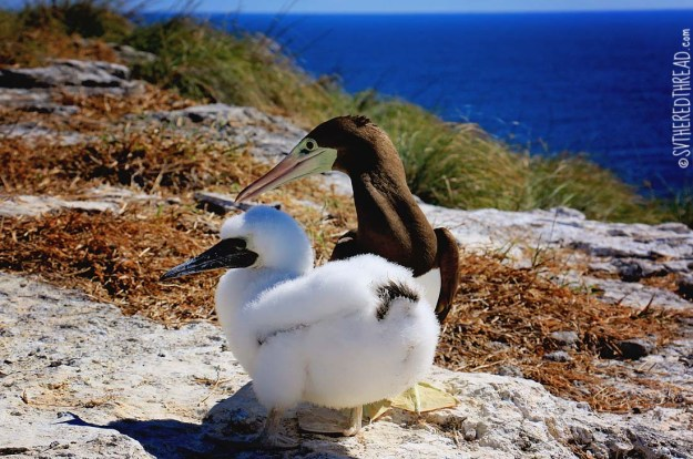 #Isla Isabela_Brown footed booby family2