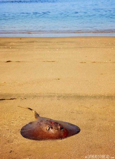 #Bahia Iguanita_Round stingray