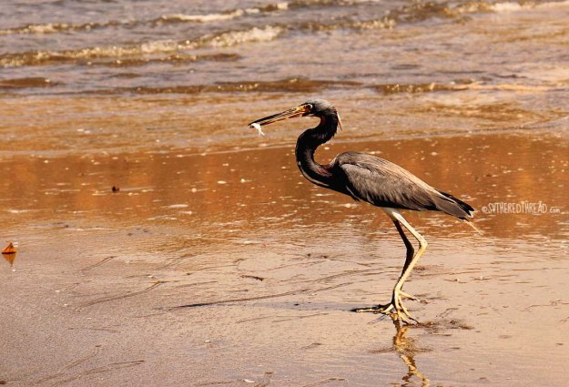 #Bahia Iguanita_Tri-colored heron1