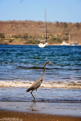 #Bahia Iguanita_Tri-colored heron3