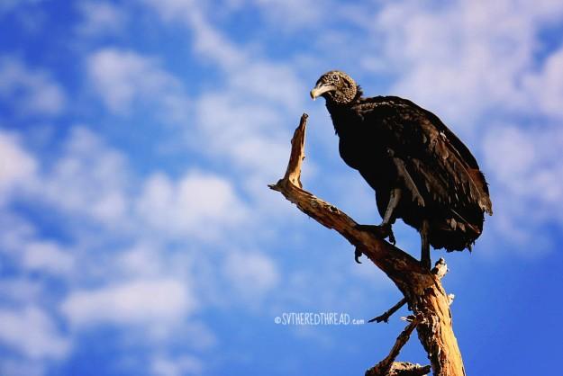 #Bahia Iguanita_Vulture