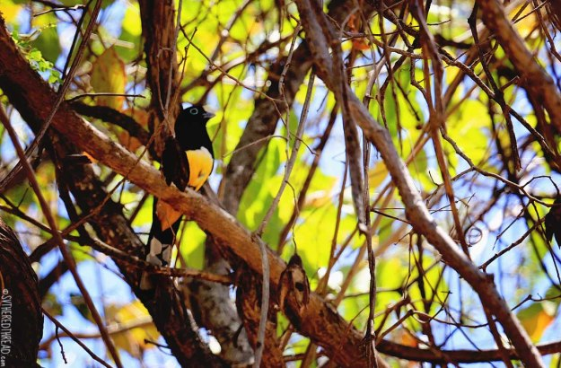 #Bahia Iguanita_Yellow belly bird