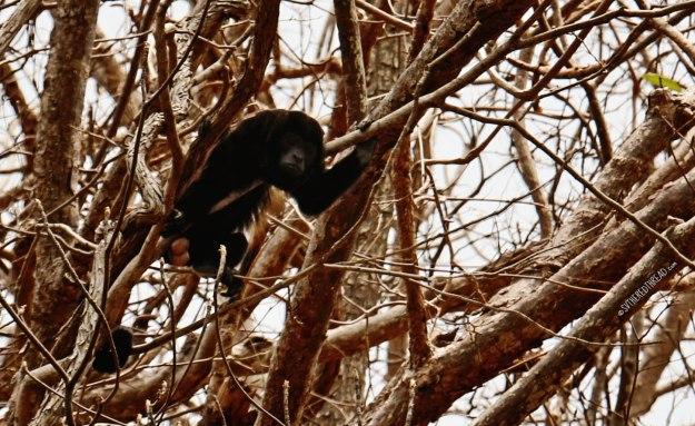 #Bahia Huevos_Howler monkey2