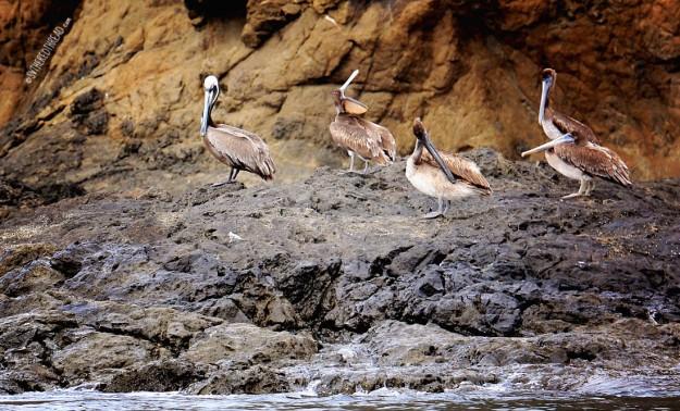 #Bahia Huevos_Lazy pelicans