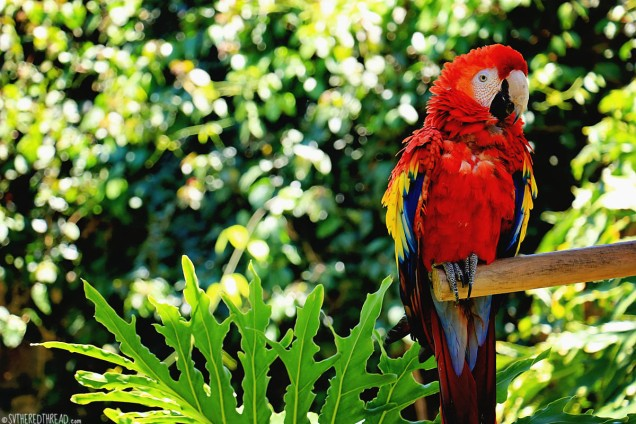 #Antigua_Santo Domingo_Macaw