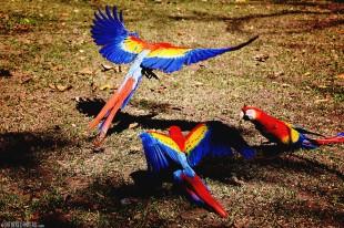 #Copan ruins_Scarlet macaws1