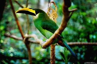 #Macaw Mountain_Emerald toucanet1