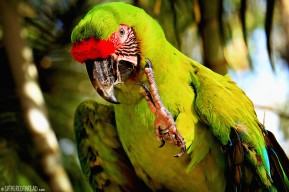 #Macaw Mountain_Great green macaw1