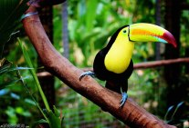 #Macaw Mountain_Keel-billed toucan1