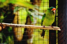 #Macaw Mountain_Orange-fronted conure