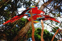 #Macaw Mountain_Scarlet macaw duo