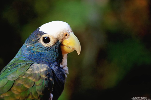#Macaw Mountain_White-crowned parrot1