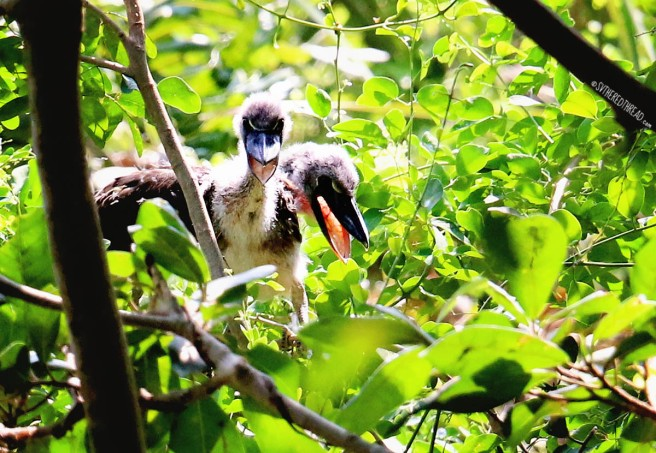 #Barillas-Boat-billed heron chicks