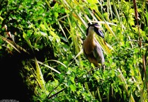 #Barillas-Boat-billed heron1