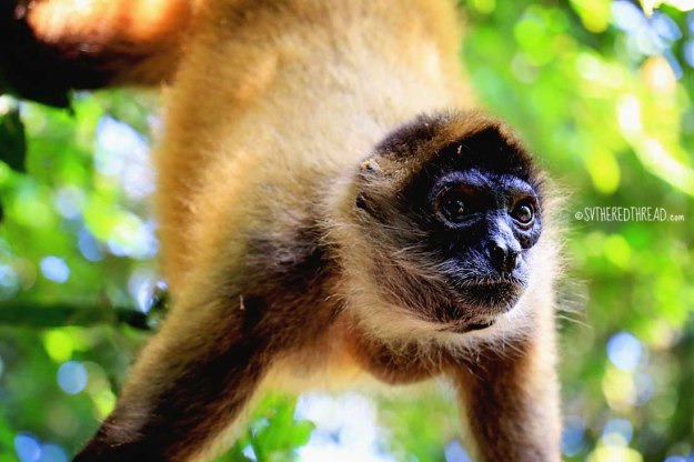#Barillas_Spider monkey1