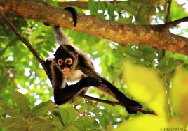 #Barillas_Spider monkey2