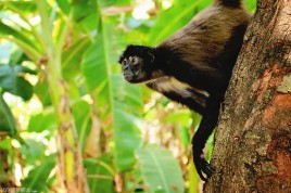 #Barillas_Spider monkey4