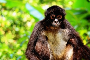 #Barillas_Spider monkey6
