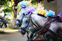 #Granada_Carriage ponies