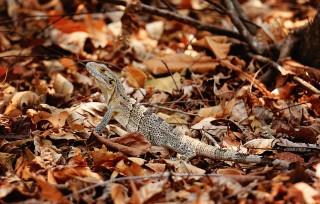 #Isla San Lucas_Lovely lizard