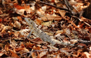 #Isla San Lucas_Lovely lizard