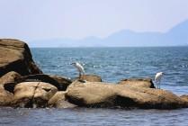 #Isla San Lucas_Snowy egrets