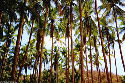 #Isla Tortugas_Palms