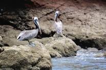 #Jesusita y Los Cedros_Pelicans