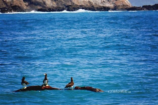 #Playa del Coco to Bahia Ballena_Lazy boobies