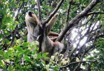 #Manuel Antonio_2-toed sloth1