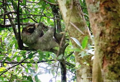 #Manuel Antonio_3-toed sloth1
