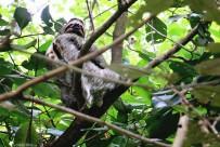 #Manuel Antonio_3-toed sloth2